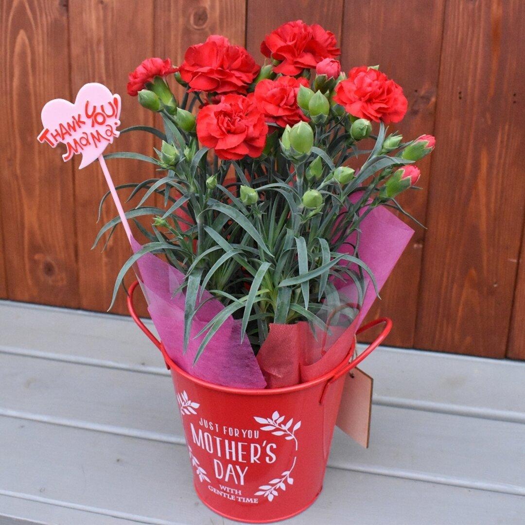 15時までなら翌日発送♪【母の日カーネーション鉢物】お花を長く楽しみたいお母さんへ♡ 鉢セット 花苗・器・リボン・ラッピングセット