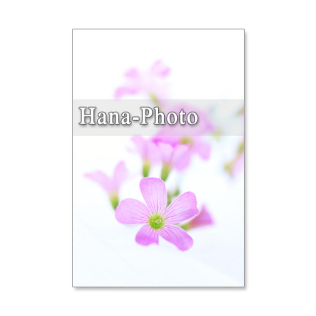 1212) ピンクのカタバミのクローズアップ  ポストカード5枚組