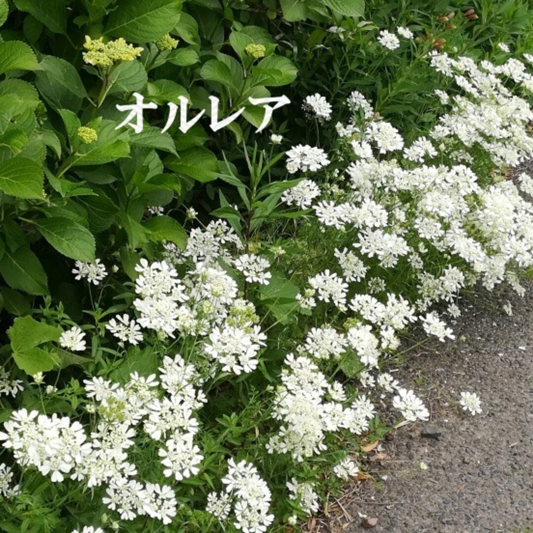 秋まき花の種 オルレア 種 50粒