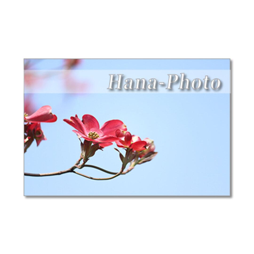 1394) 美しい赤と白のハナミズキ   ポストカード5枚組