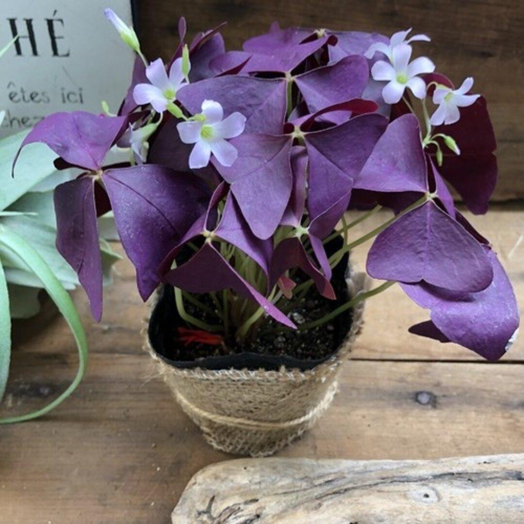 紫の舞♡大人気♡ユニークな葉っぱ♡オキザリス♡紫の舞♡