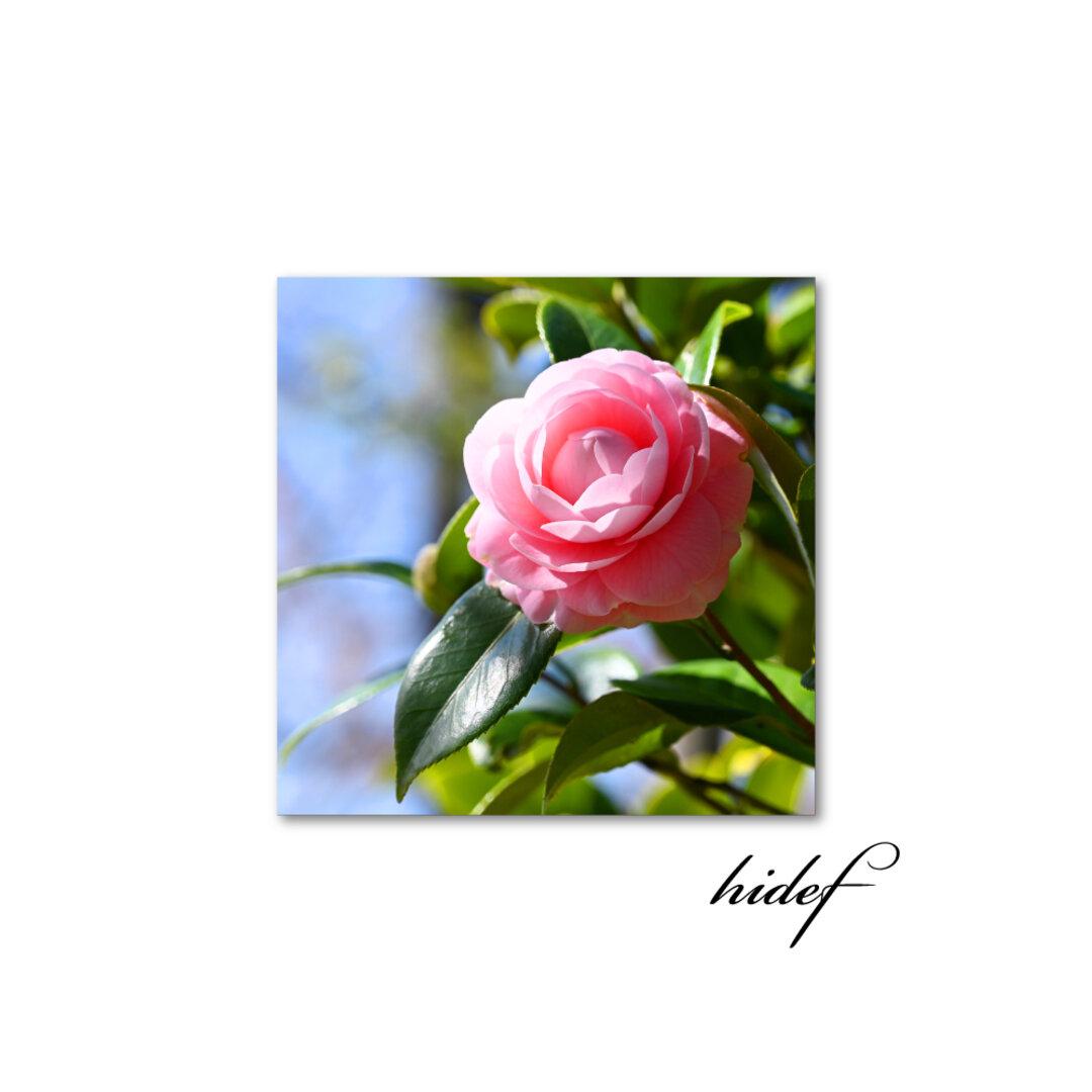 【送料無料】告げる開花は(sq2009002)