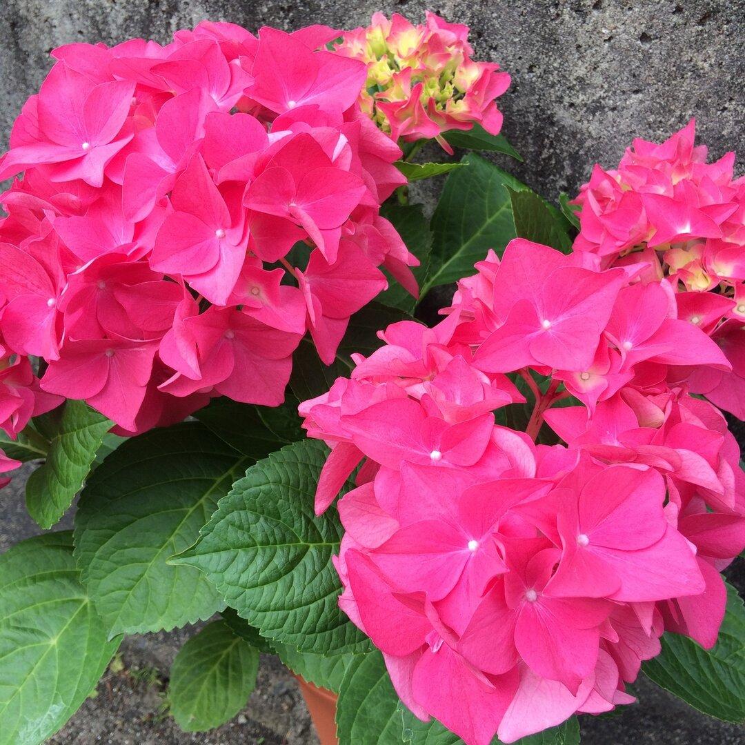 【送料込】可愛い♡ハイドランジア♡レッドピンク♡たわわな花付♡鉢ごと発送♡