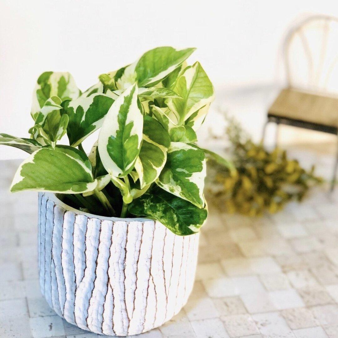【再販】最も美しいポトス『エンジョイ』3号  アンティーク鉢 観葉植物 インテリア