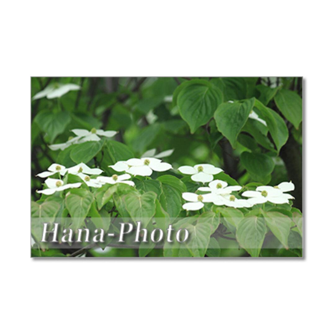 1407) 初夏の白い花  ヤマボウシ・柏葉あじさい・トベラ  ポストカード5枚組
