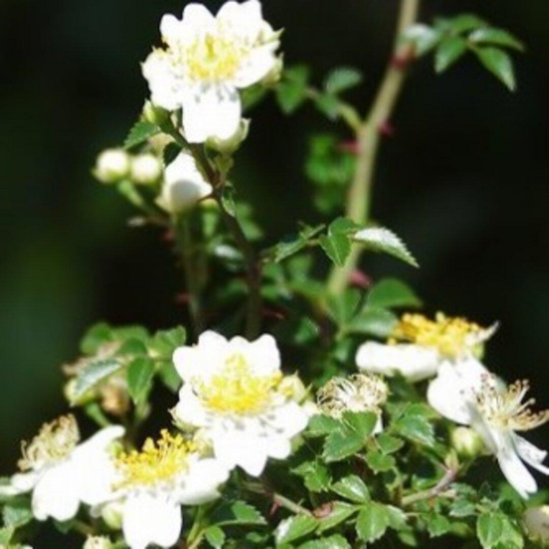 山野草ノイバラ(山陽)苔盆栽★秋の先取りフェア