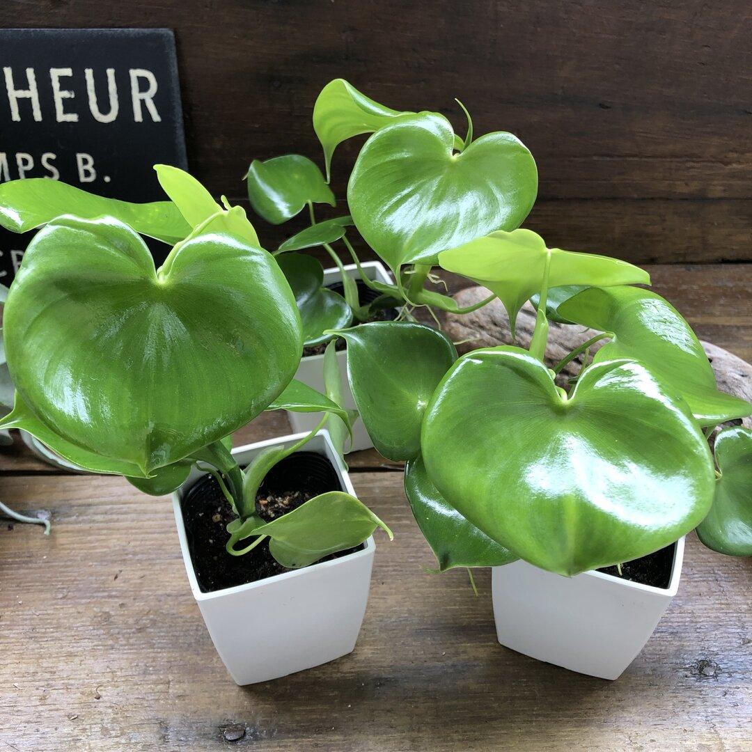 ハートフィロデンドロン♡ハート型の観葉植物