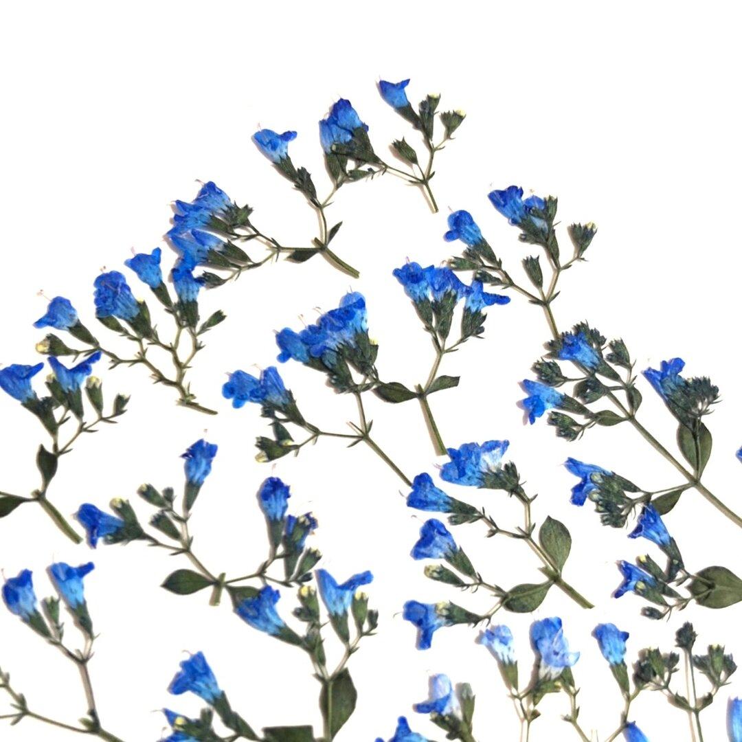 【押し花素材】カラミンサ ミニ 着色 ロイヤルブルー