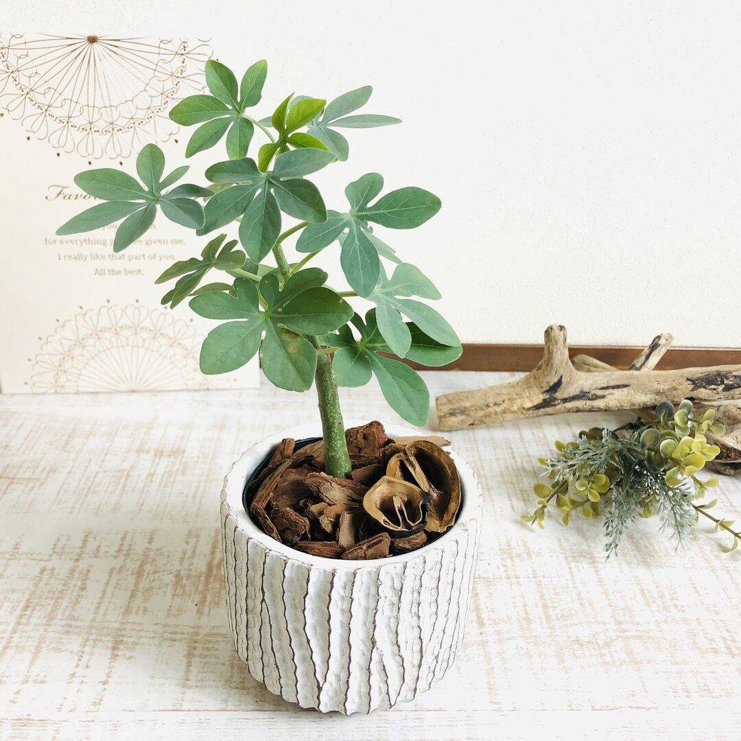 人気の塊根植物 アデニア グラウカ 3号 アンティーク鉢 観葉植物 インテリア
