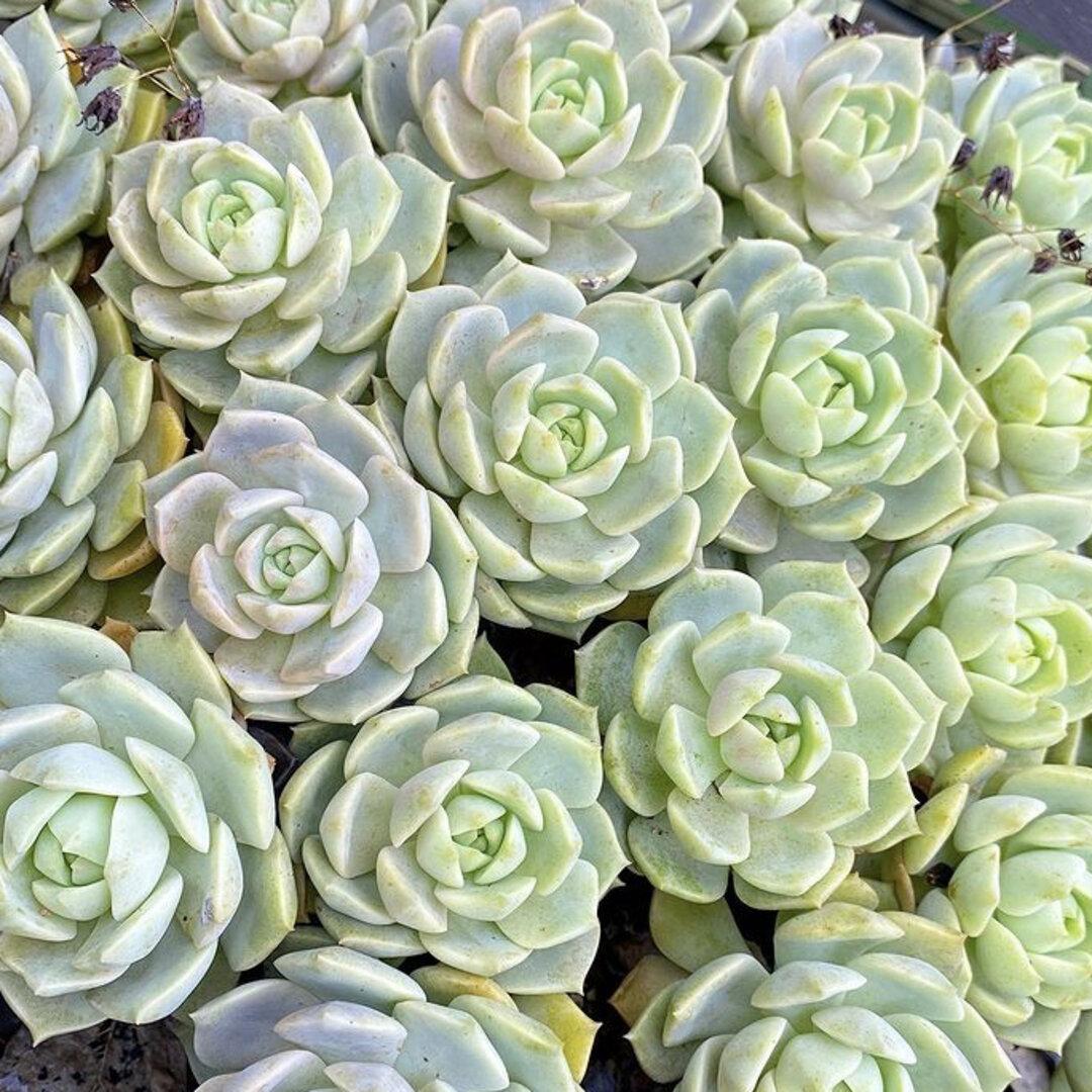 多肉植物 白牡丹 葉挿しっ子 1苗