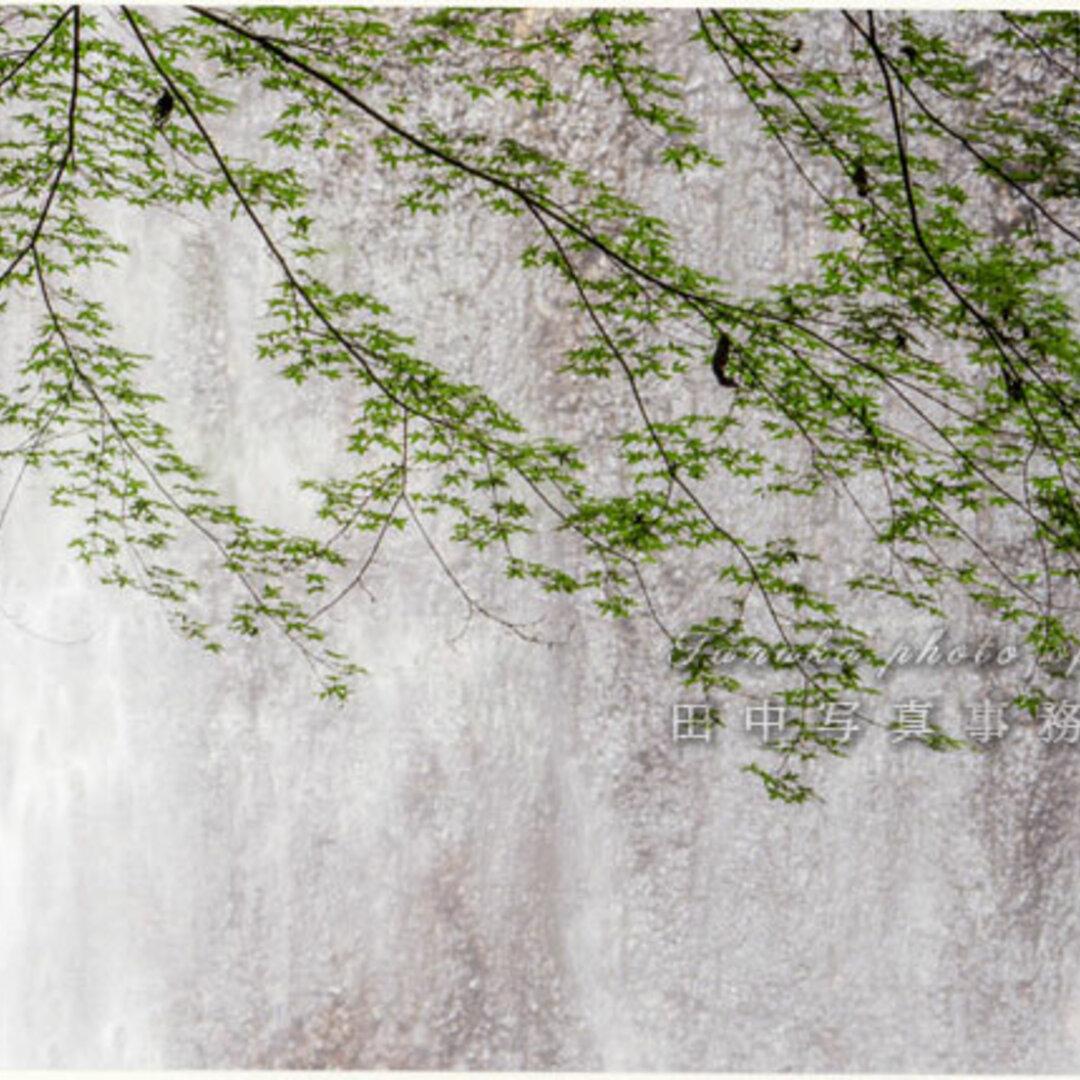 滝をバックにカエデの新緑 LP0601