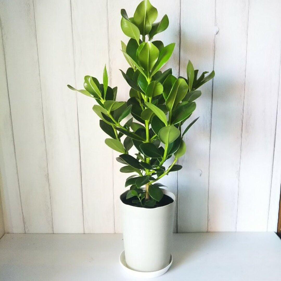希少種 珍しい 観葉植物 クルシア おしゃれインテリアプランツ 丈夫で育てやすい 受皿プレゼント