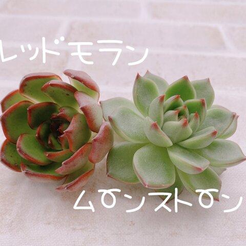 送料無料♡♡ 多肉植物 エケベリア 韓国苗 レッドモラン ムーンストーン♡♡