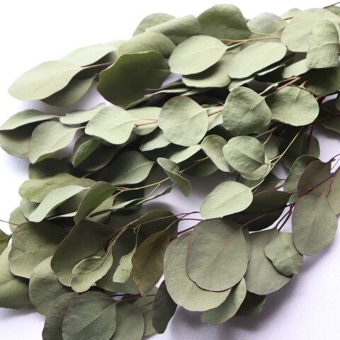 ユーカリポポラスロング10本 30~40cmドライ(葉中)