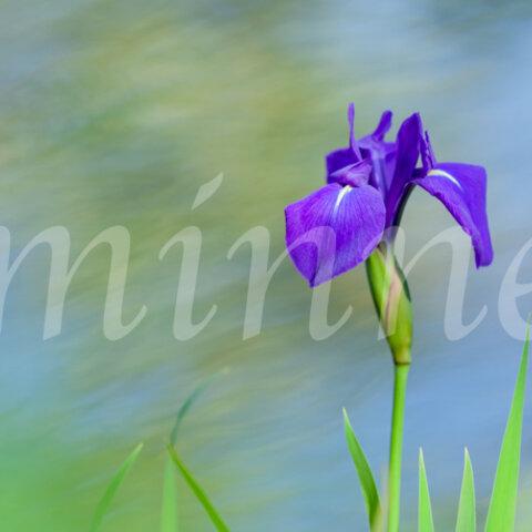 燕子花の花の写真  (A3)  送料無料