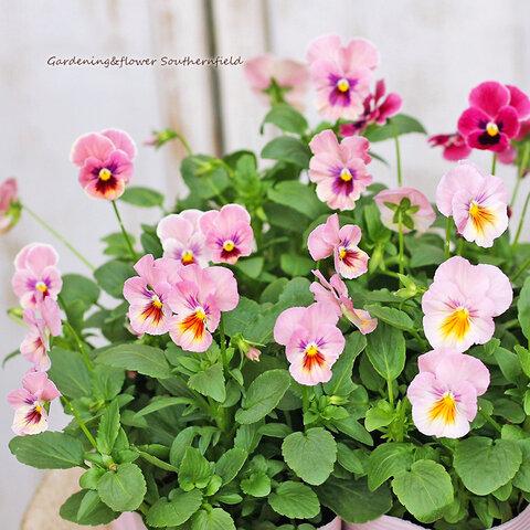 🌺花苗|パンジー ナチュレピンク3.5号ポット 花壇 鉢植え 寄せ植え🌺