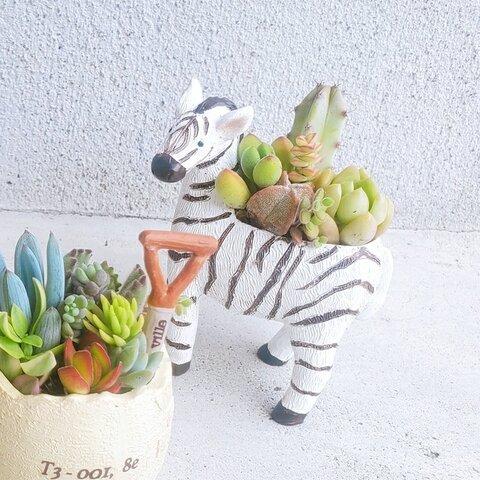 🆕おしゃれなゼブラの寄せ植え🦓しまうまポット(多肉植物orサボテンの寄せ植え)