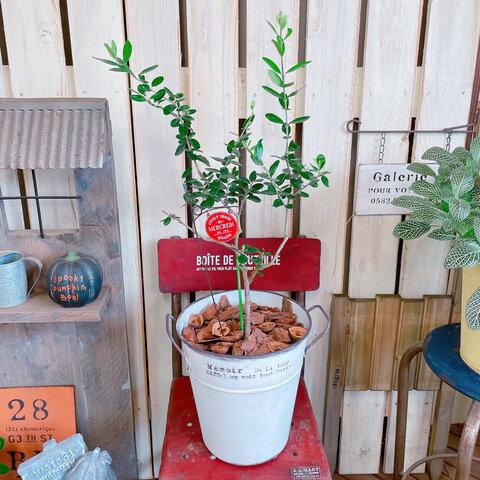 現品♡【オリーブの木 】ホワイト系ブリキ鉢♡揺れるアイアンピックつき♪ナチュラルガーデニング