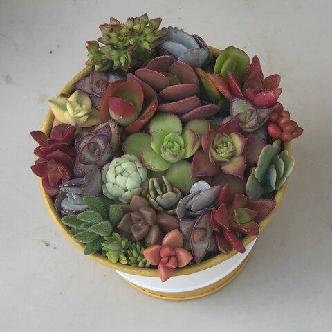 紅葉中♡ 新品缶 ♡ネルソルで固まってる寄せ植え♡多肉植物♡可愛い