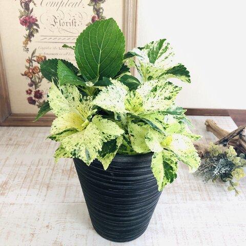 葉を楽しむ あじさい スフレ 5号 ブラック 受け皿付き  観葉植物 インテリア 引っ越し祝い ギフト