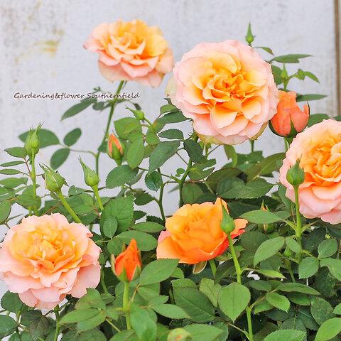🌷花苗 ミニバラ コルダーナ インパラ 3.5号ポット 芳香性 四季咲き アンティークオレンジ アプリコット🌷