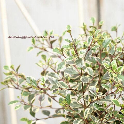 🌷花苗 常緑低木 ロフォミルタス・マジックドラゴン 3号ポット🌷