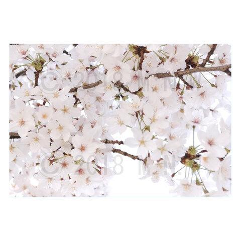 桜(さくら サクラ)のマグネットステッカー 2L判サイズ 2