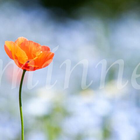 ヒナゲシの花の写真  (A3)  送料無料