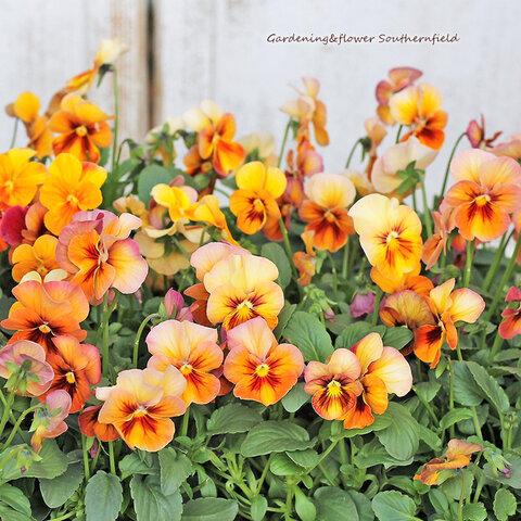 🌺花苗 パンジー ナチュレブロンズシェード 3.5号ポット 花壇 鉢植え 寄せ植え🌺