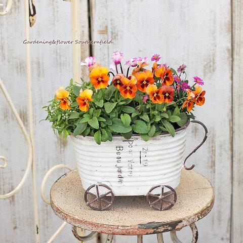 🌷季節の花寄せ植え アンティークパンジー&シクラメン&ブラキカム ナチュラルブリキカートポット White🌷 受注生産