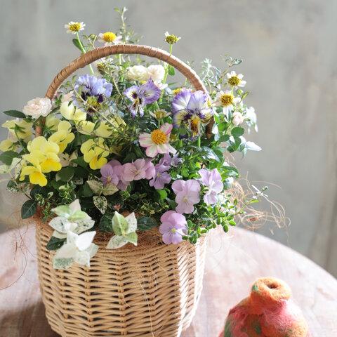 ウインターコスモスとビオラの花束植えバスケット