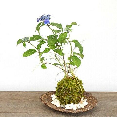 【2021年開花終了】季節の移ろいを感じませんか【山紫陽花(やまあじさい)の寄せ植え苔玉・くらま岩器セット】