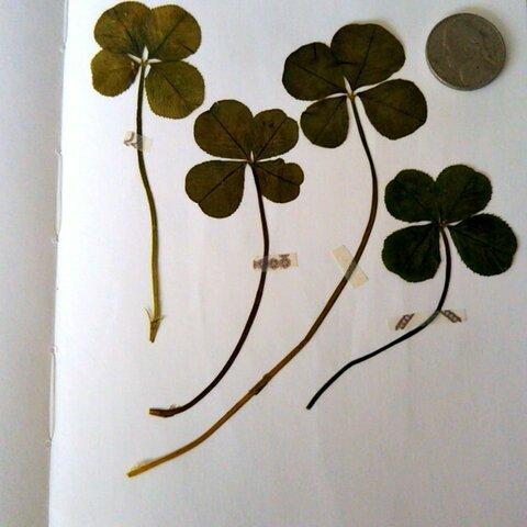 四つ葉のクローバー 押し花 ビッグサイズ