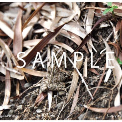 はがきサイズの写真:世界自然遺産 迷彩かえる POSTCARD