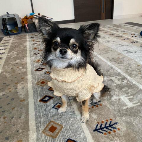 【クリームベージュ】犬服 フリル袖タンクトップ 春 夏 小型犬