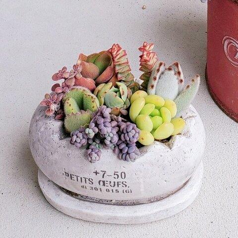 🆕再販!!たまご型セメントポットの多肉植物の寄せ植え(受け皿付き)