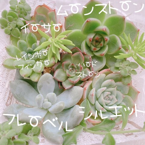 送料無料♡♡《25》多肉植物 エケベリア 韓国苗セット♡♡