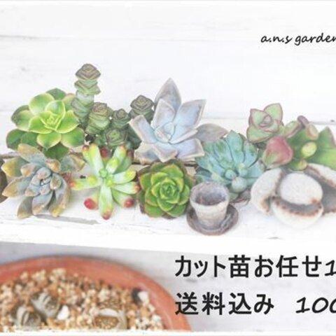 可愛い多肉カット苗10ヶ*送料込み1,000円!