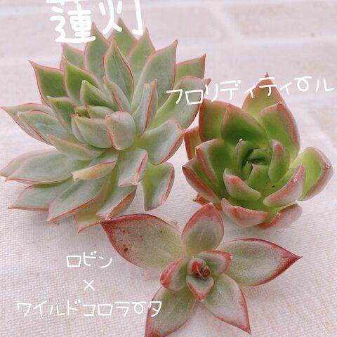 送料無料♡♡ 多肉植物 エケベリア 韓国苗  蓮灯 フロリディティールのセット♡♡