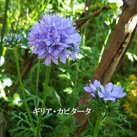 まき 花の種 ギリア・カピタータ 50粒 一年草 切り花