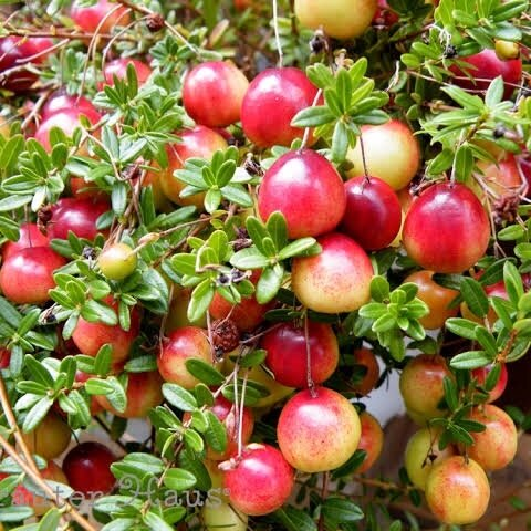 クランベリー 種 10粒