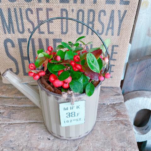 ベージュ系♡【チェッカーベリー】ジョーロミニブリキ鉢♡赤い実が可愛い毎年楽しめる植物♪