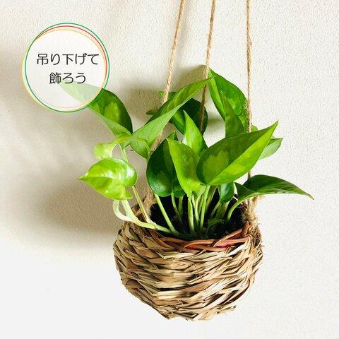 迷彩柄のお洒落なポトス『グローバルグリーン』ホワイト しめ縄プランター 壁掛けインテリア 観葉植物