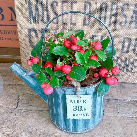 シルバー系♡【チェッカーベリー】ジョーロミニブリキ鉢♡赤い実が可愛い毎年楽しめる植物♪