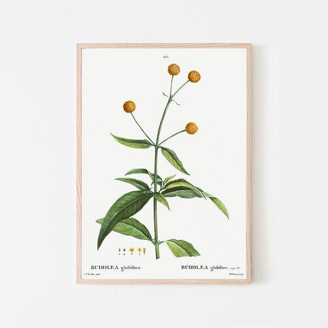 ブッドレア グロボーサ / アートポスター イラスト ポンポン 植物 花 フラワー 夏 黄色 2L〜