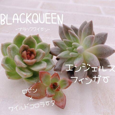送料無料♡♡多肉植物 エケベリア 韓国苗 エンジェルスフィンガー ブラッククイーンのセット♡
