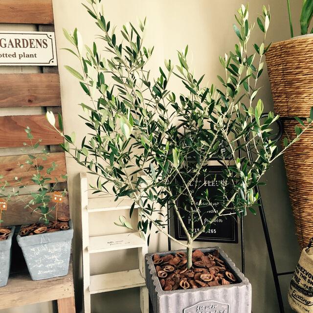 シンボル ツリー 鉢植え